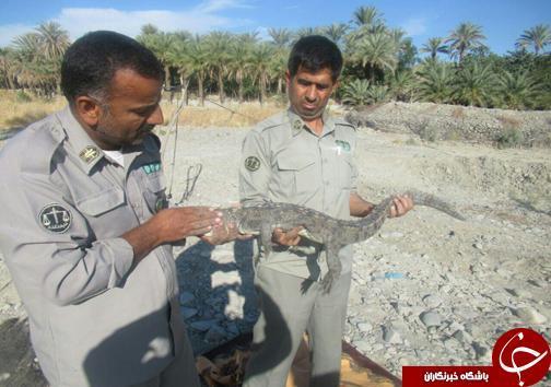 نجات دو سرتمساح پوزه کوتاه در قصرقند