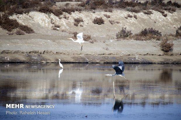 طرح شمارش پرندگان مهاجر آبزی و کنار آبزی در استان شروع شد