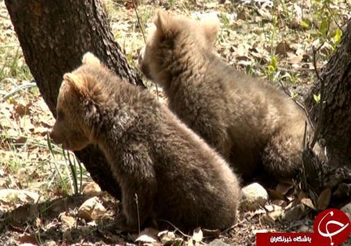 آخرین وضعیت توله خرس های رها شده در طبیعت خوزستان