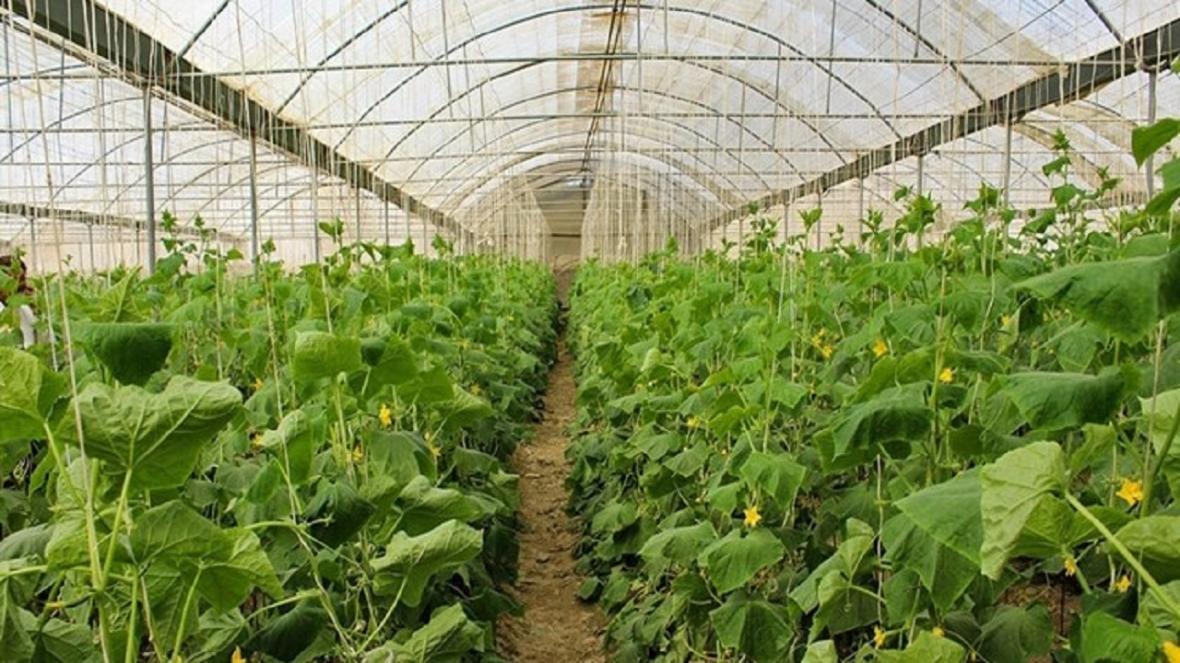 نخستین گواهی فراوری محصول سالم در گلخانه برای کشاورز خاشی صادر شد