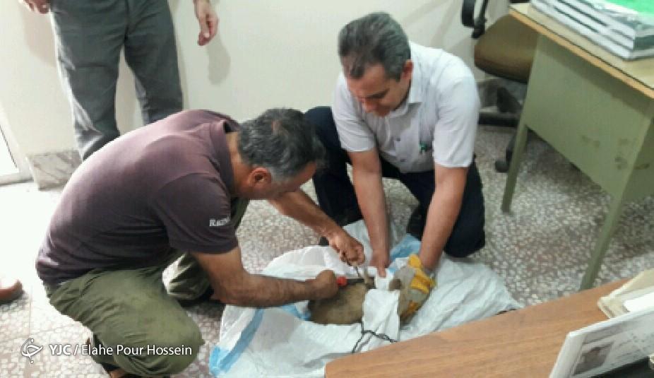 نجات یک قلاده گورکن در قائم شهر