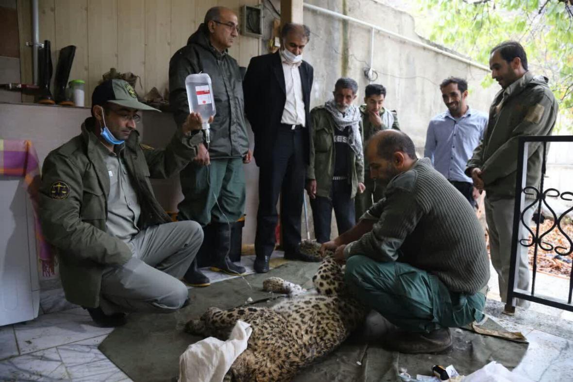 خبرنگاران مرگ مبهم یک قلاده پلنگ ماده در مازندران
