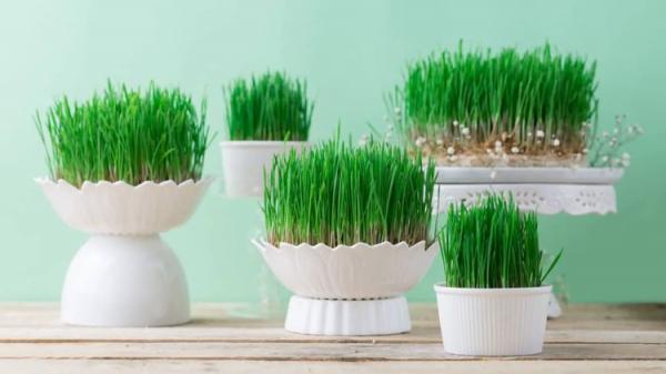 طرز کاشت سبزه عید؛ ترفند هایی برای تهیه سبزه هفت سین 1400